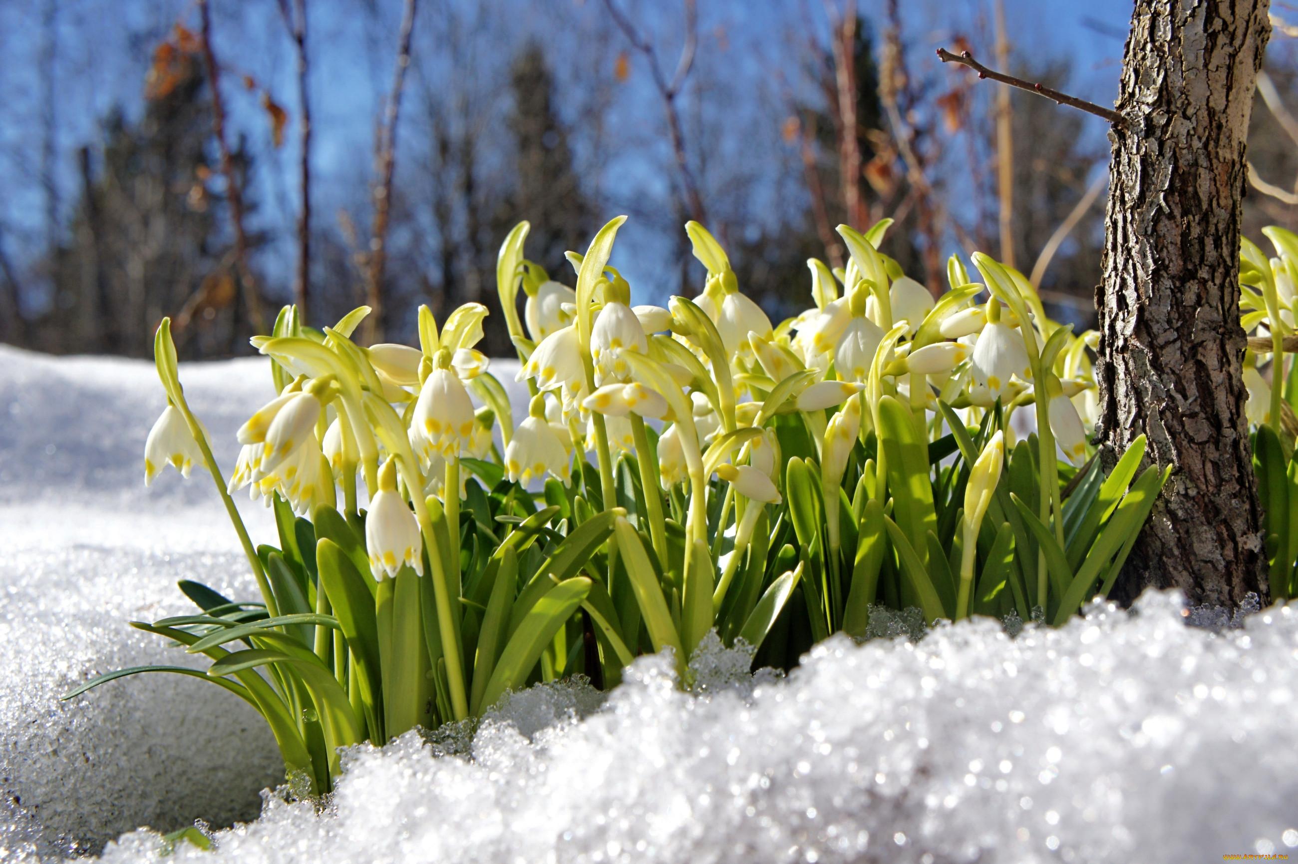 оказалось картинки подснежники в снегу на рабочий стол молодых